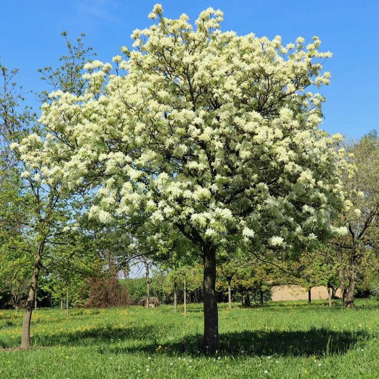 Fraxinus ornus in springtime